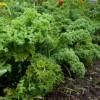 November – Kale