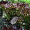 June – Salad Greens