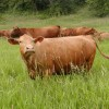 Forest Cattle