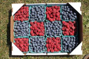 Haugen's Raspberries 4